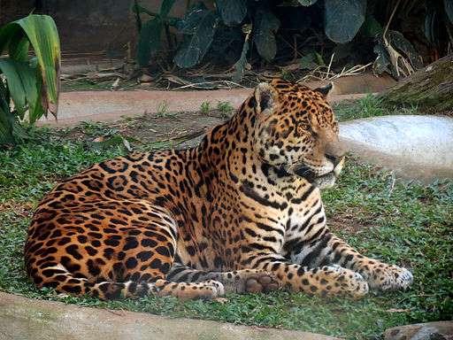 Panthera_onca_jaguar_